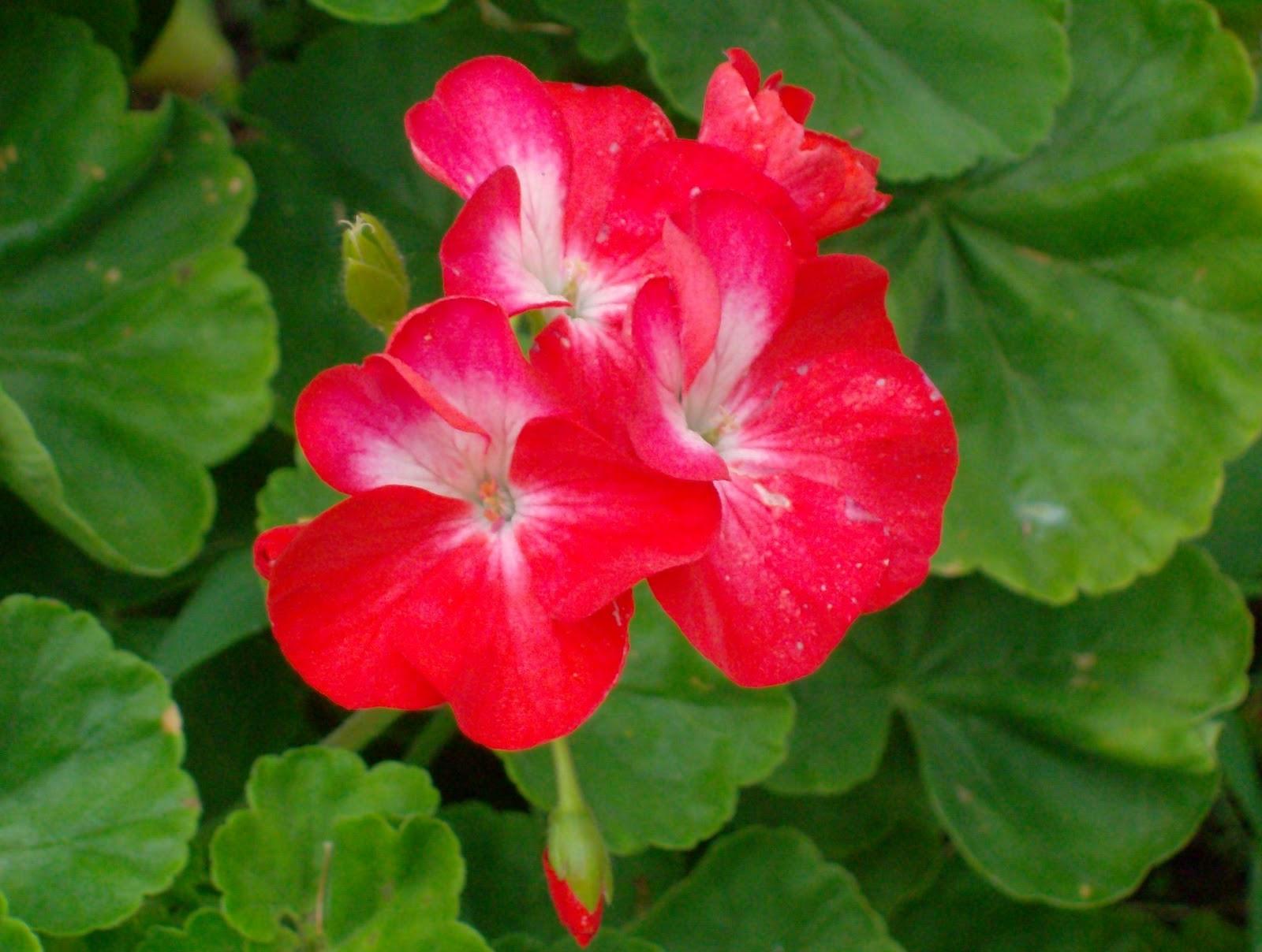 flores jardim sardinheiras : flores jardim sardinheiras ? Doitri.com