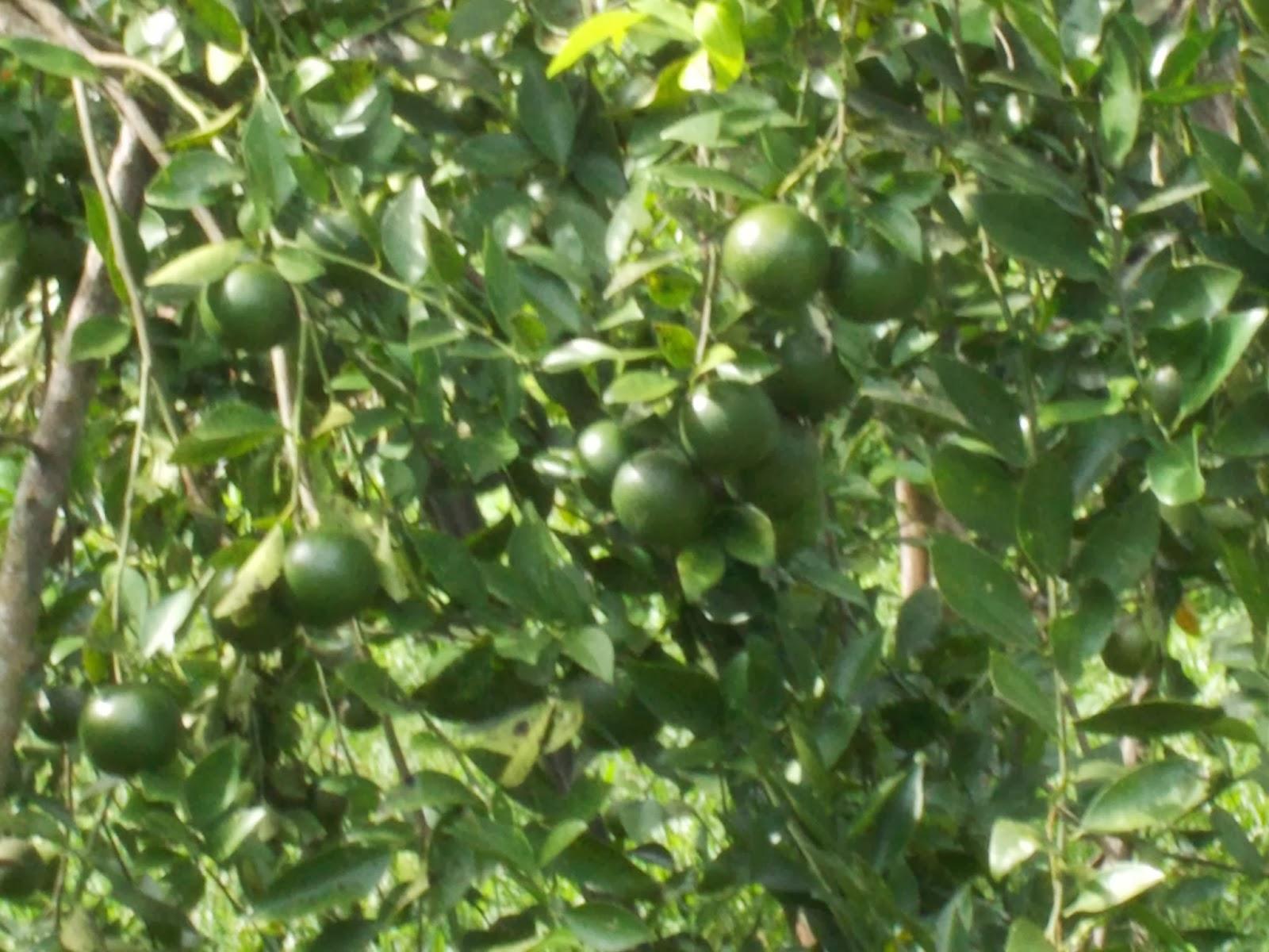 Contoh Proposal Tani Kauripan Pemeliharaan Tanaman Jeruk