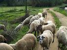 Ovelles al camí de Can Perereda