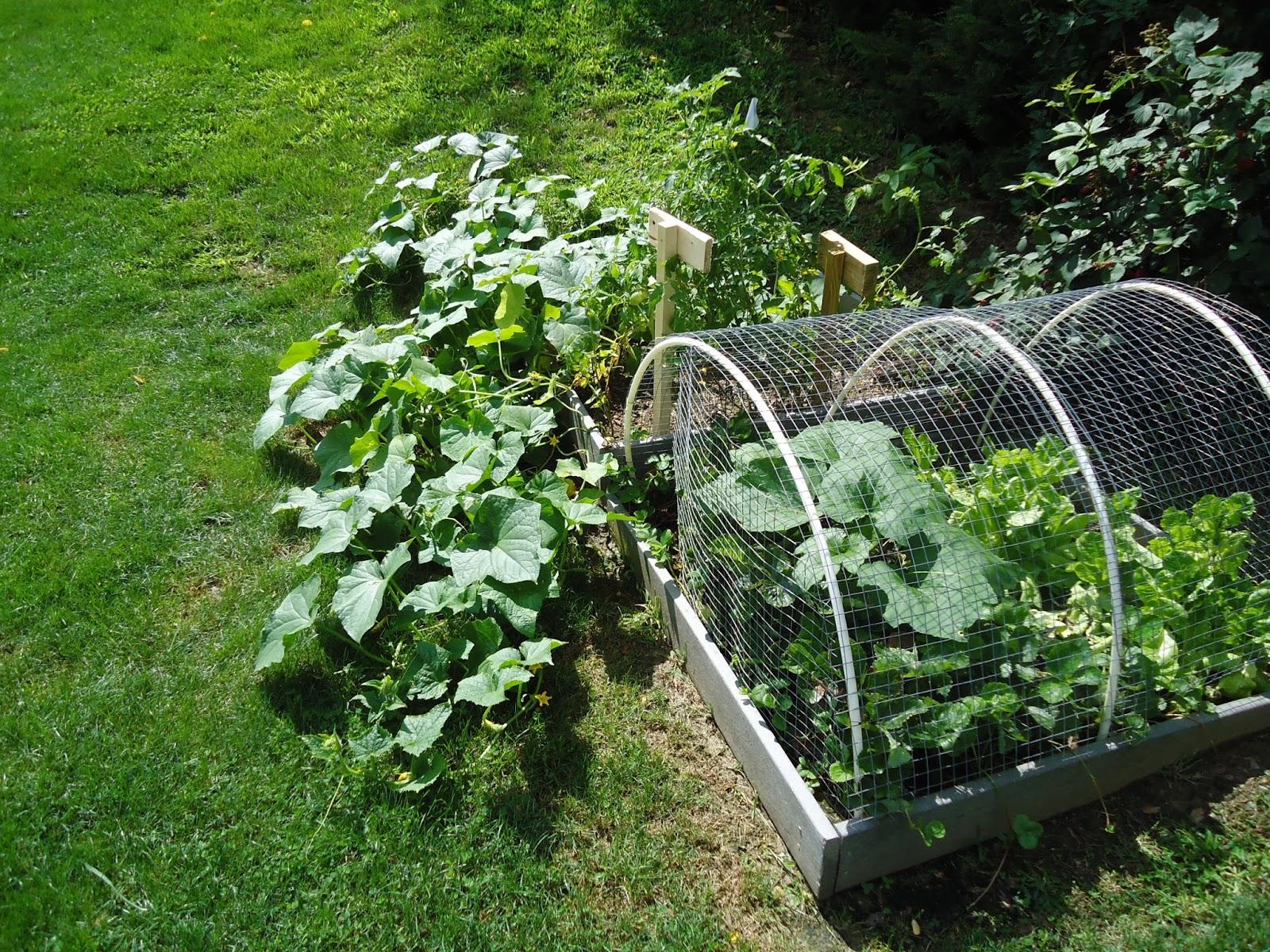 organic cucumbers