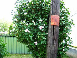 Rose of Sharon tree embracing a power pole