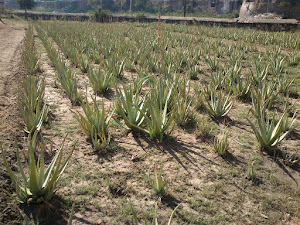 First Crop Of Aloe Vera