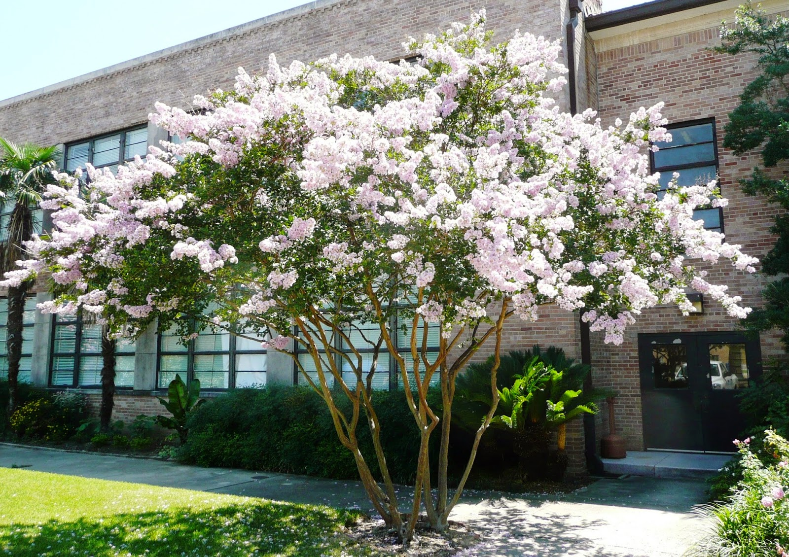 Allergena texas trees crape myrtle beautifully flowering trees because of the large size of the pollen from this tree you will not expereince allergic reactions from the existence of this tree in your landscaping mightylinksfo