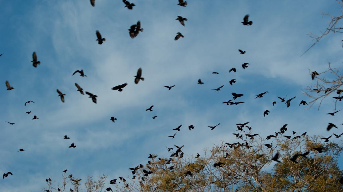 Crows2893.jpg