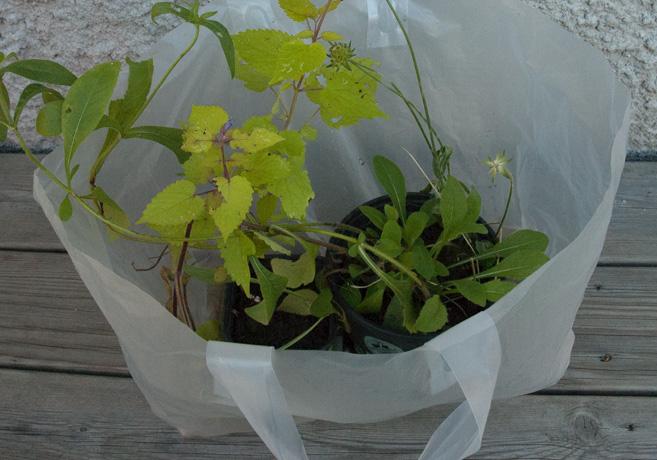 Genomskinlig påse med två plantor.