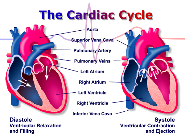 heart cardiac cycle and the circulatory system Cardiac cycle your heart and the cardiovascular system your heart is just one  of the components of your body's cardiovascular system this system can be.