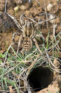 Para ampliar Lycosa tarantula hacer clic