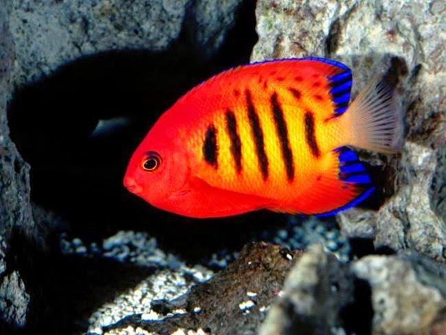 أجمل الأسماك الاستوائية الملونة   - صفحة 2 Colorful-tropical-fishes-04