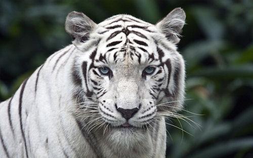 Tigre de bengala - Meow - White Tiger