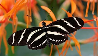 Fluture zebra alb si negru