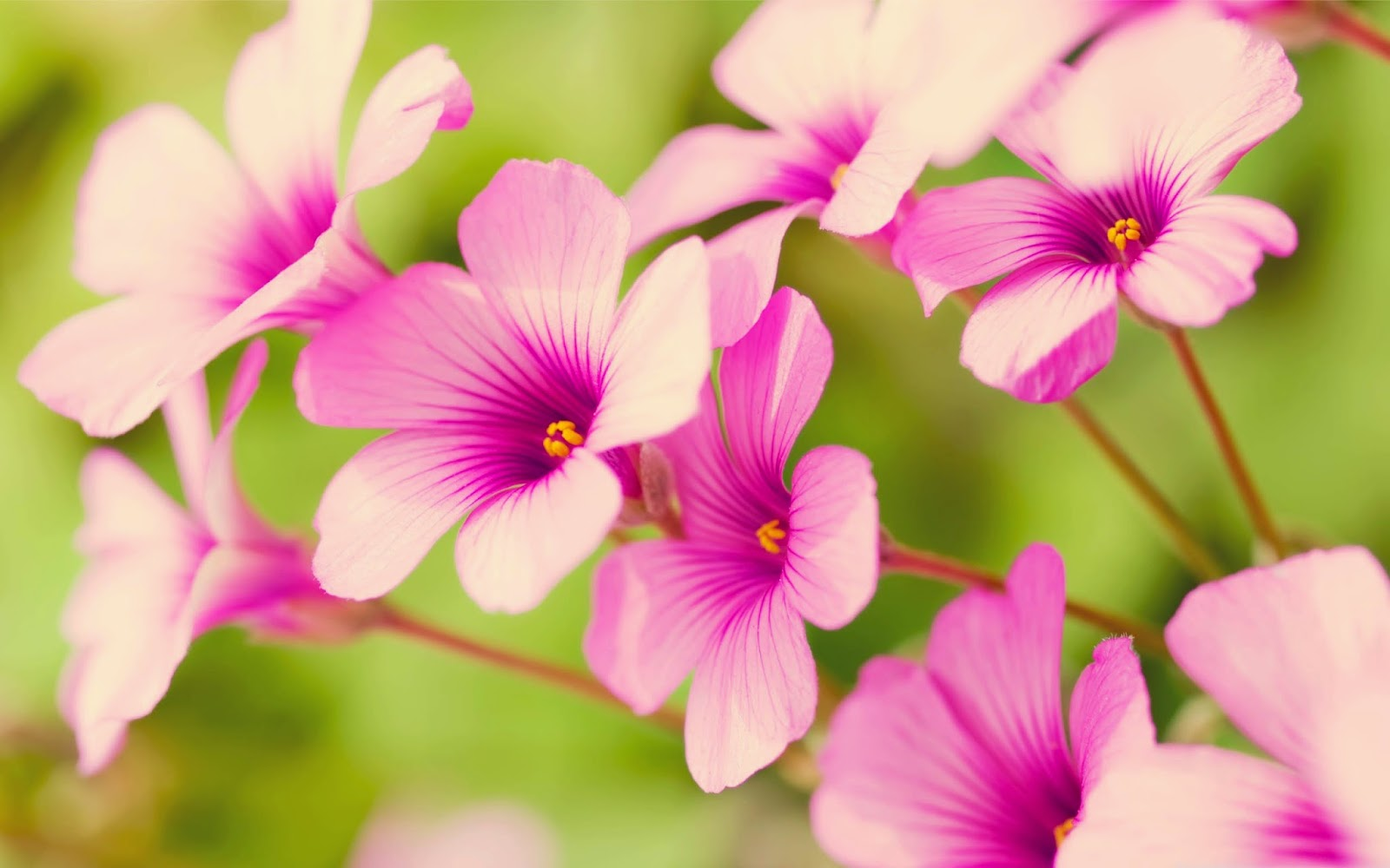 Pink Flowers Hd Wallpapers Free Download For Pc Online Fun
