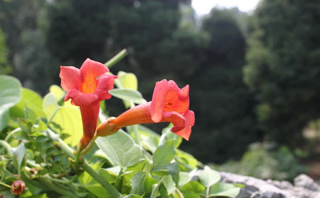 Trumpet Vine Flowers Pictures