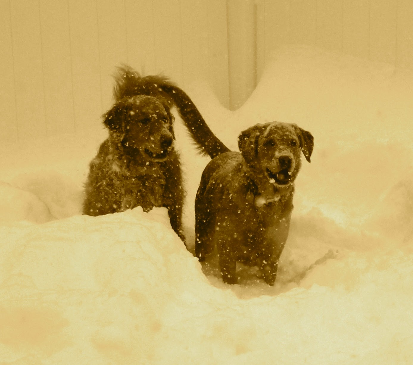 sepia picture of dogs in snow