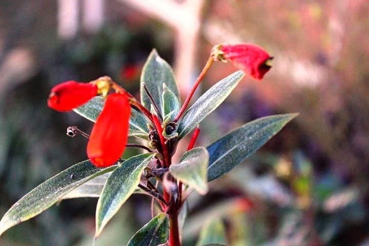 30 graines-Giant Sea Holly-Miss Willmott/'s Ghost Eryngium Giganteum
