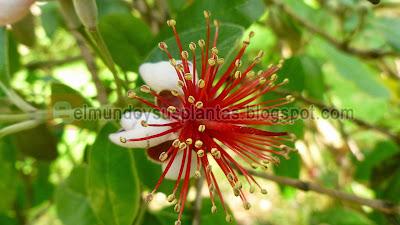 Foto de Flor de Guayabo del País