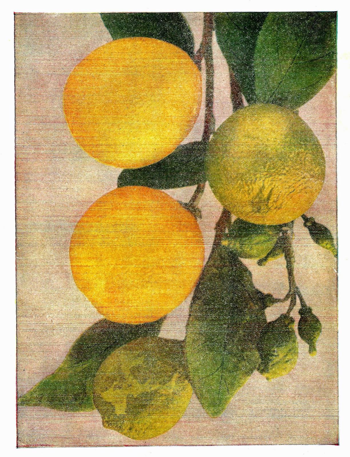 http://3.bp.blogspot.com/-NT9PGgNlgB4/U6SEeUZ4_vI/AAAAAAAAUdw/mIuOgtaeBOQ/s1600/lemons_branch.jpg