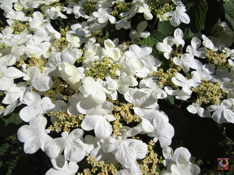 """Viburnum plicatum """"Shasta"""""""