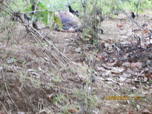 """TIGER KILL"" near a ravine on the main pathway approx 500 meters from ""Natural Heritage Resort""."