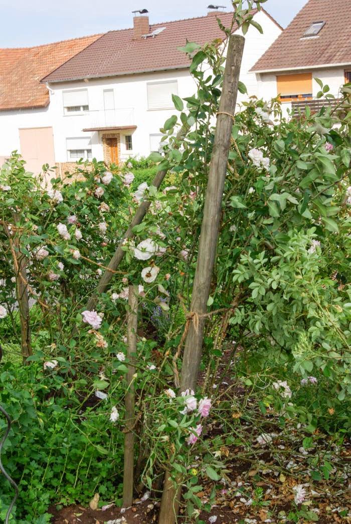 rudolfs park historischer rosen sintflut und sturm zu fr h gefreut. Black Bedroom Furniture Sets. Home Design Ideas