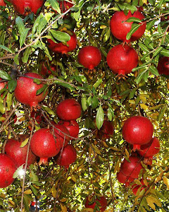 Organic Cultivation of Pomegranate Fruit