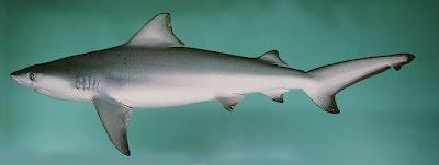 tiburon toro Carcharhinus leucas