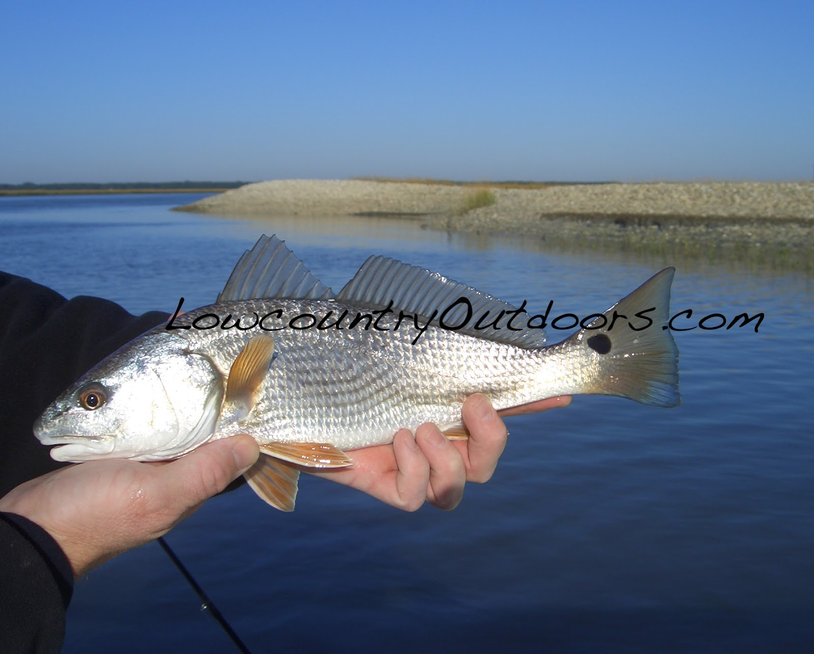 Best sc sheepshead fishing complete pdf library for South carolina saltwater fishing regulations