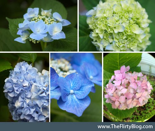Blue, Pink, Blooming Hydrangeas