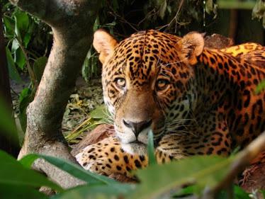 yaguaretè (Tigre Americano)