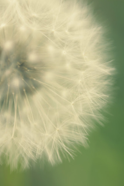 dandelion art, dandelion photography, flower photography, photo art, art print, beach bum chix