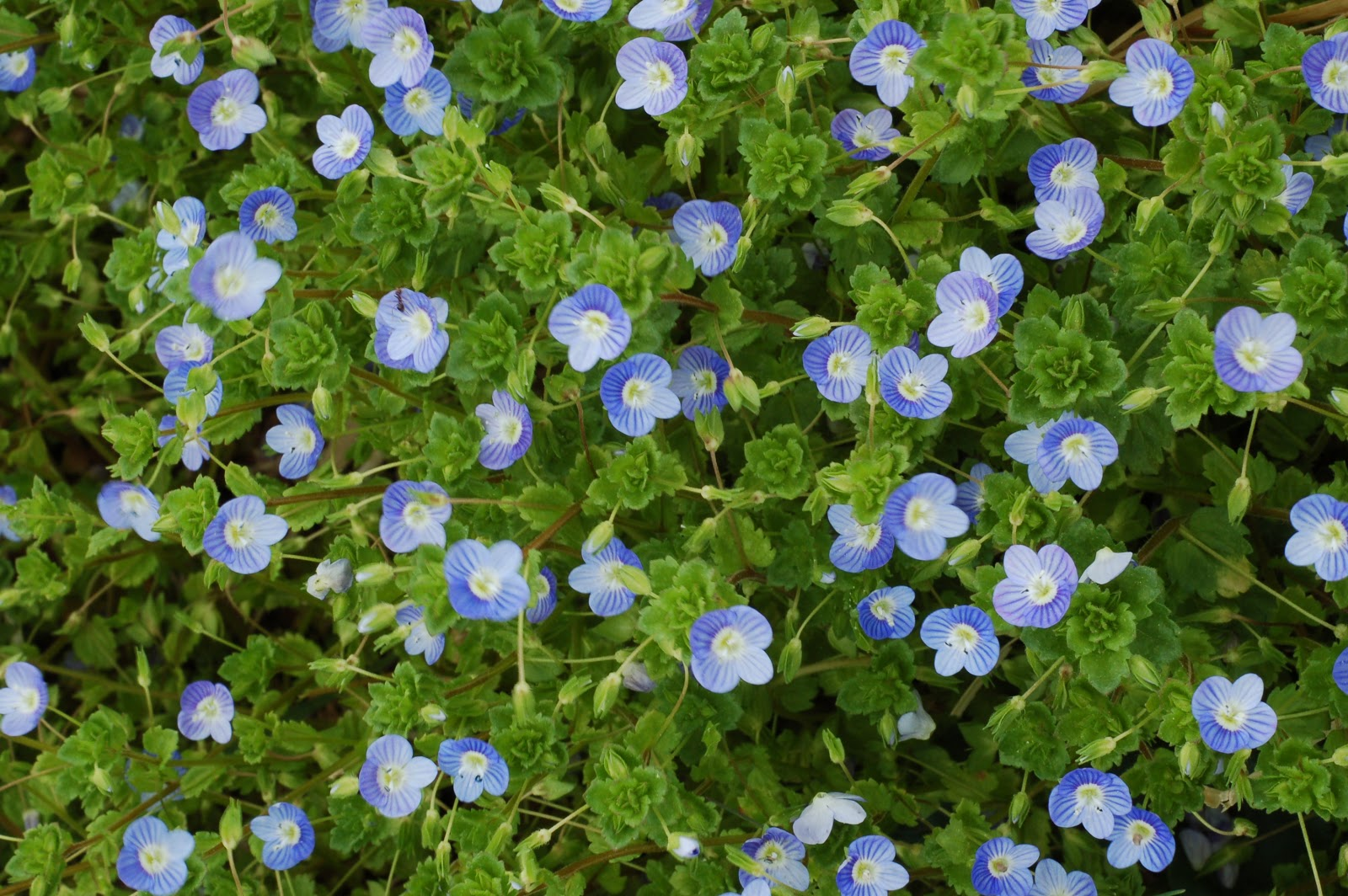Boil And Steep 2 C Water 1 Handful Of Fresh Washed Sdwell Add Honey Or Other Herbs Es To Taste The Beautiful Tiny Blue Flowers