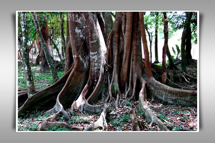 Arbol de enormes raíces