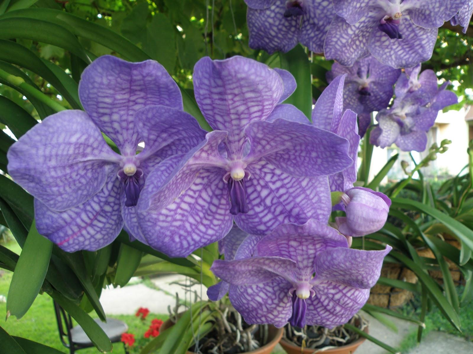 Орхидея ванда : особенности ухода за капризным цветком в домашних условиях