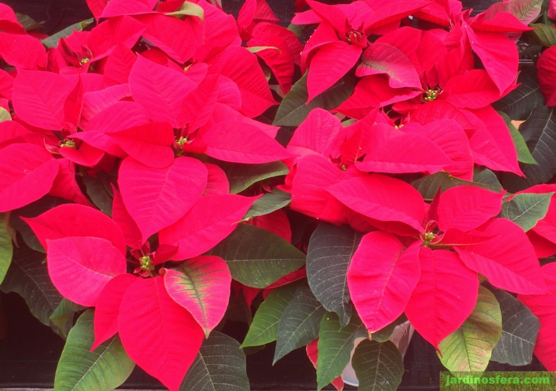 Hacer una flor de navidad planta de pascua youtube - Flor de pascua cuidados ...