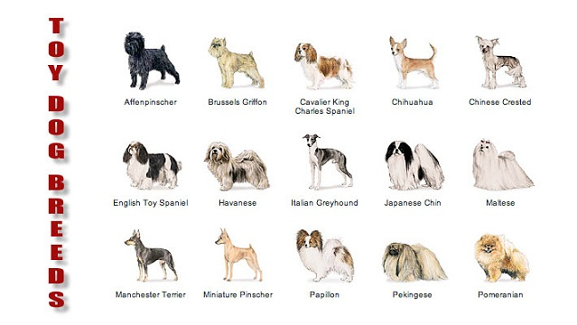 Toy Dog Breeds List : Japanese dog breeds car interior design