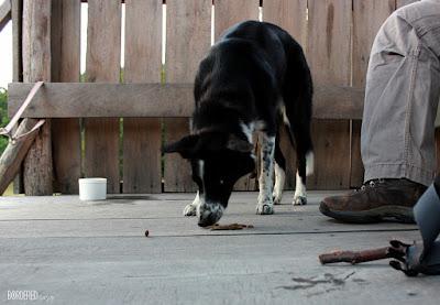 Border collie eating