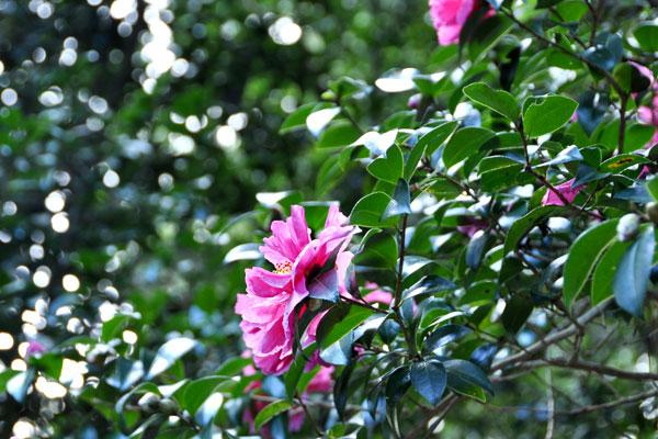 Lisgar Gardens Hornsby camellias