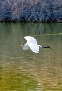 Egret Gliding 034