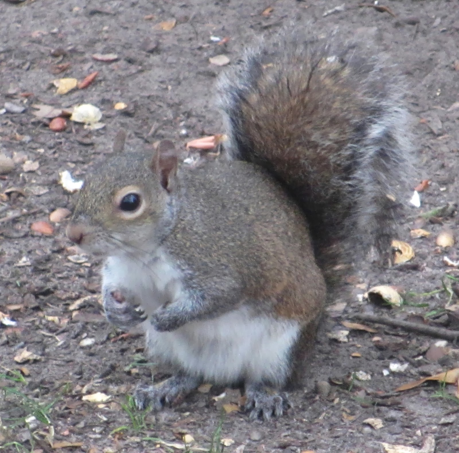 the eastern grey squirrel Squirrels of unusual color on trekohio | all the squirrels that i am featuring today are eastern gray squirrels (sciurus carolinensis) although my focus is going to be on unusually colored squirrels, lets start by taking a look at some normally colored ones.
