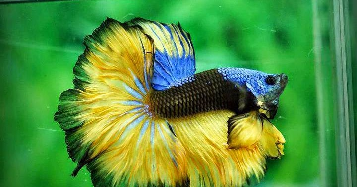 All about betta fish fancy mustard gas betta fish for All about fish
