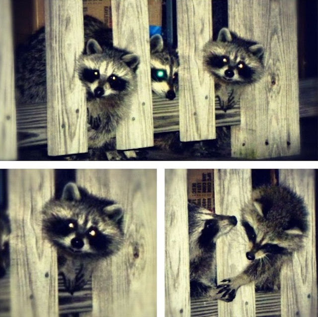 raccoons, funny animal pictures, animal photos, funny animals