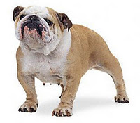 foto bulldog ingles