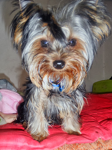 Yorkshire Terrier, female