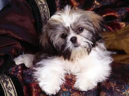 Shih Tzu Cute Puppies Show