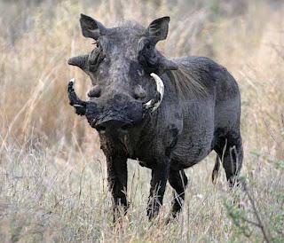 Warthog image