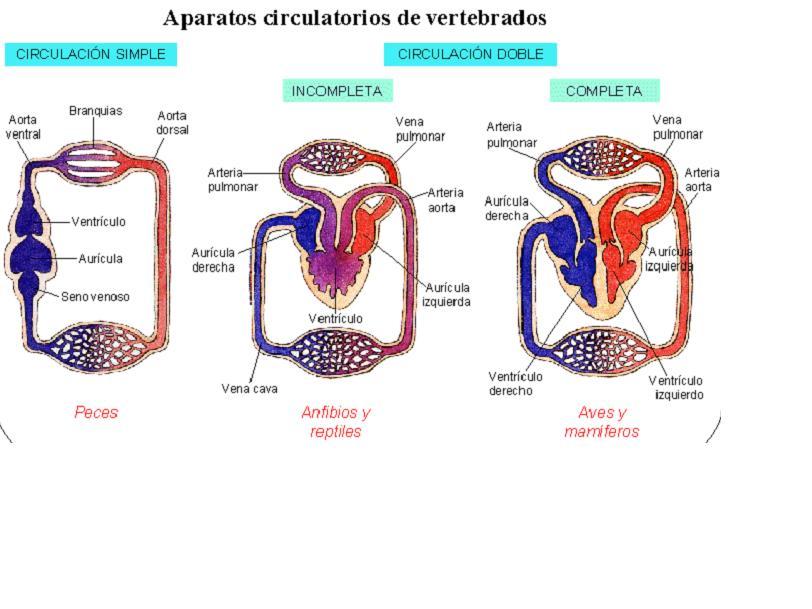 Sistema Circulatorio en Reptiles. | Sistema Circulatorio en Vertebrados.