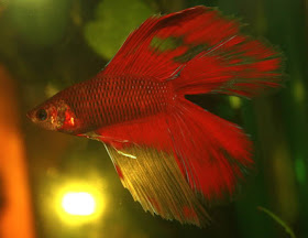 Bubbles bettas tail types and patterns for Betta fish swim bladder
