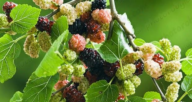 10 Manfaat Kesehatan dari Buah Murbei (Mulberry)