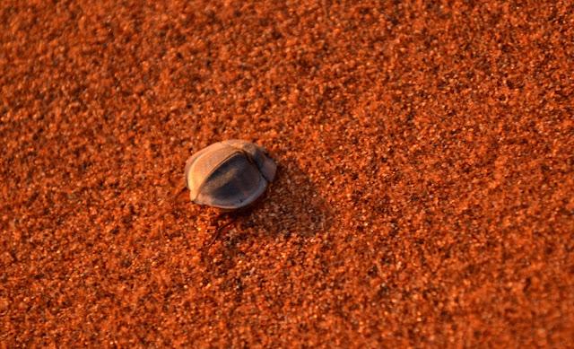 Beetle in the sand in Sossusvlei