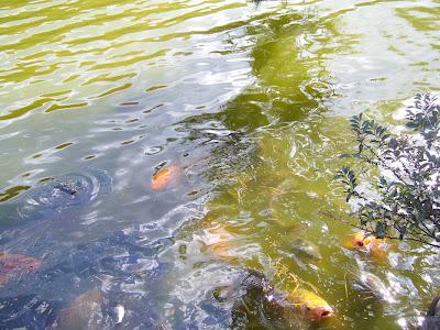 京都市・宝が池公園ウォーキング・錦鯉