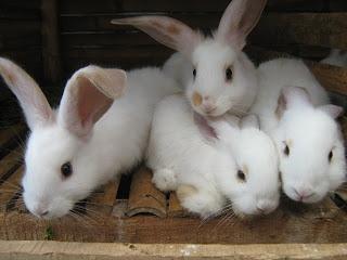 Cara Budidaya kelinci dengan vitamin nasa